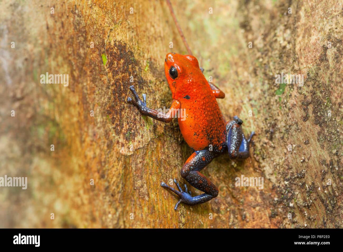 Strawberry Poison-dart Frog (Oophaga pumilio) climbing on a tree - Stock Image