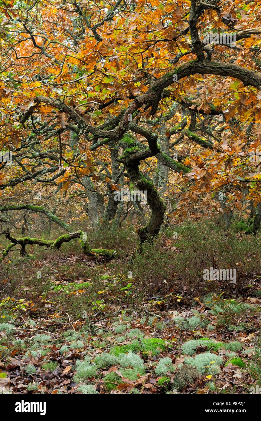 Brown autumn leaves and moss-covered branches of Pedunculate Oak in the North Holland Dune Reserve in Bergen - Stock Image