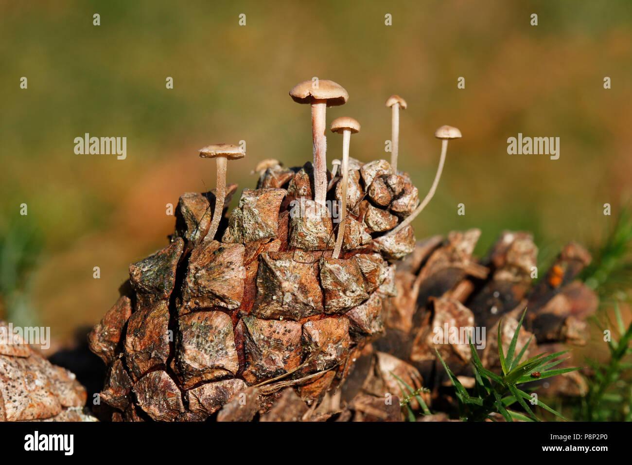 conifercone caps on a conifer cone - Stock Image