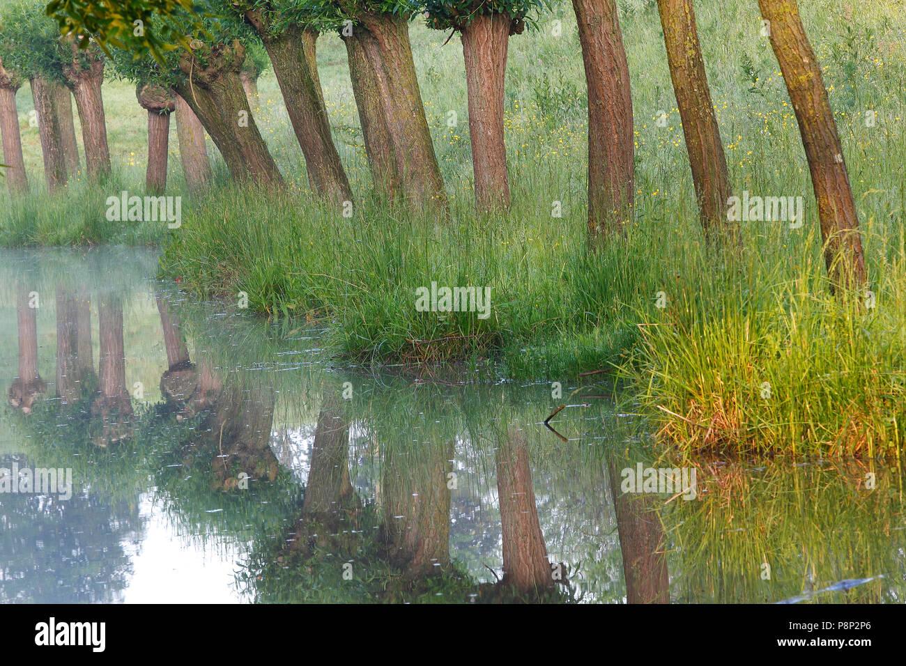 Pollard willows (Salix sp.) along pool - Stock Image