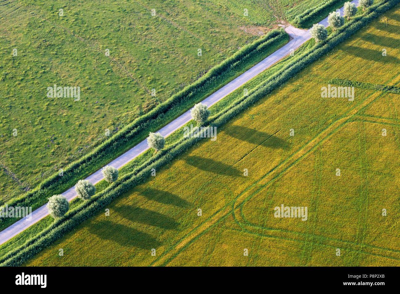 pollard willow trees - Stock Image