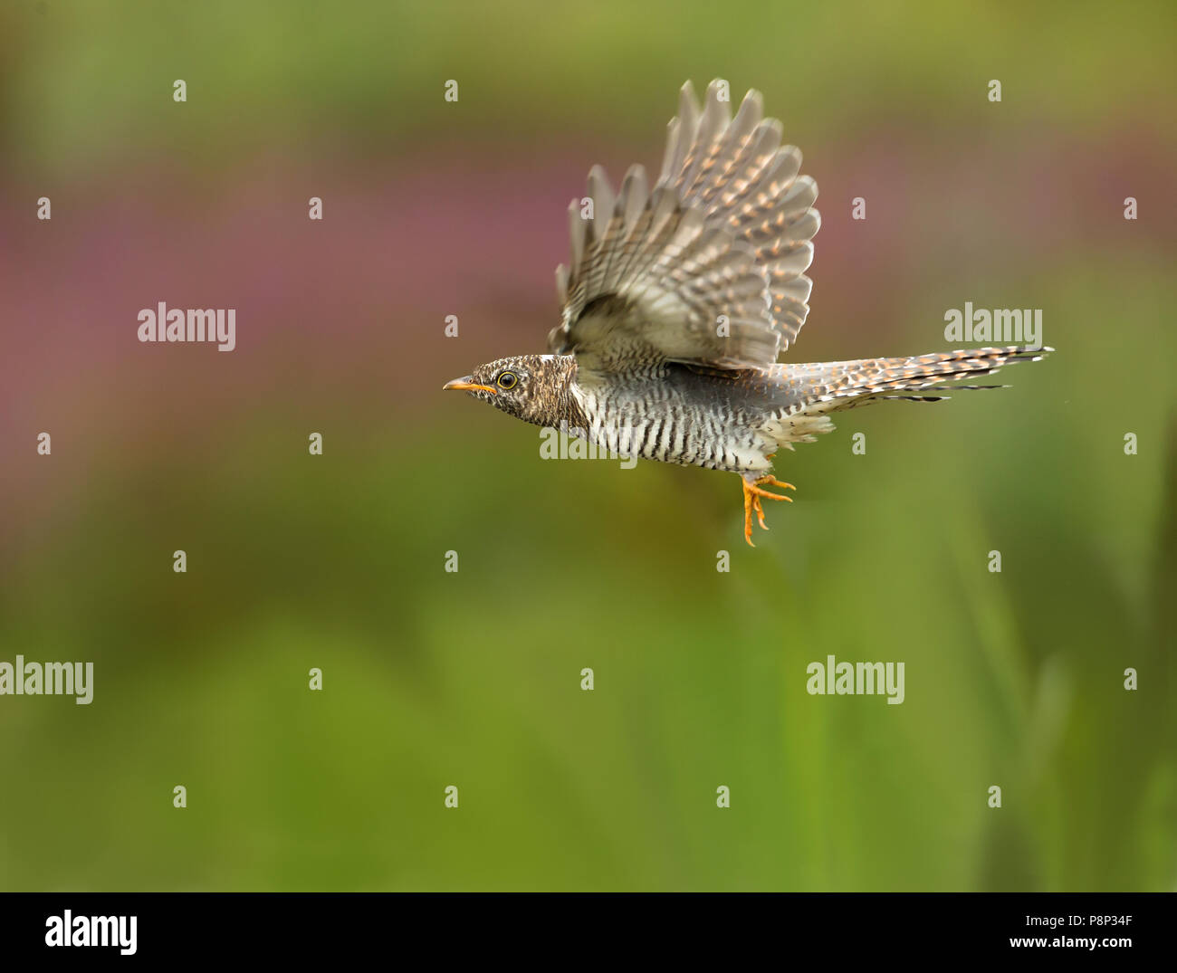 Common Cuckoo flying - Stock Image