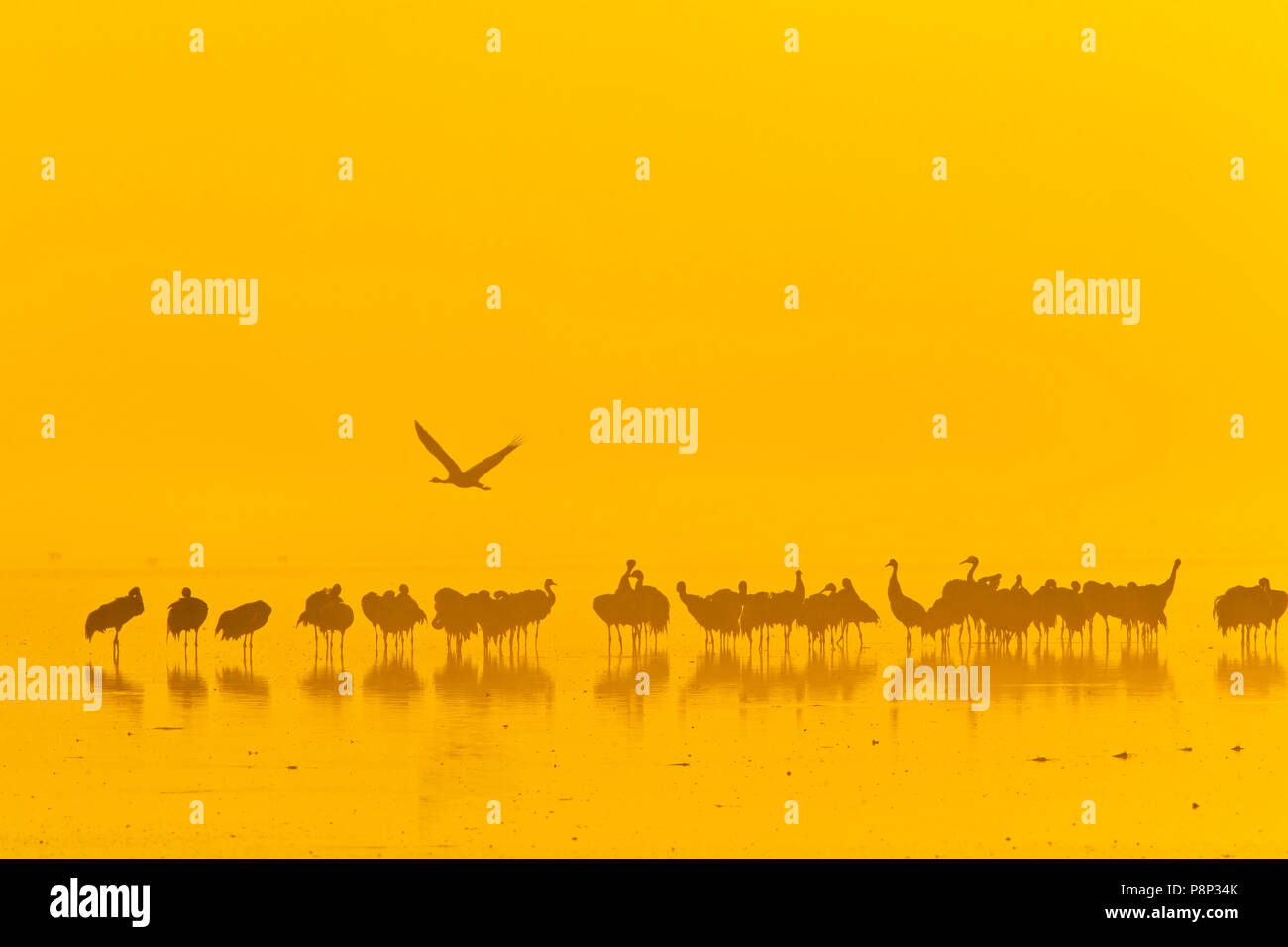 Common Cranes on roost site early morning at sunrise  in Hula Valley - Stock Image