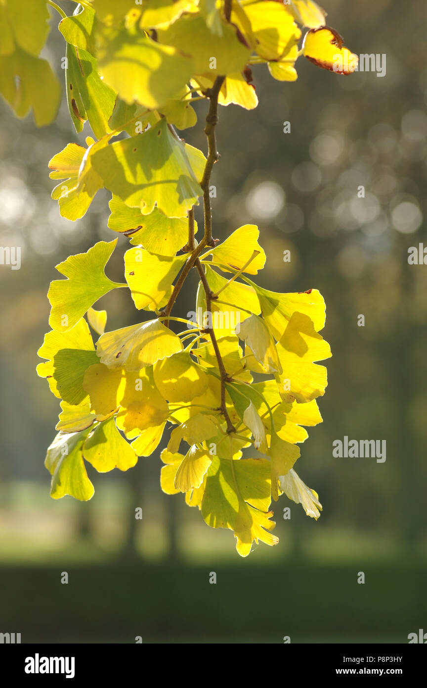 Ginkgo in autumn colors - Stock Image