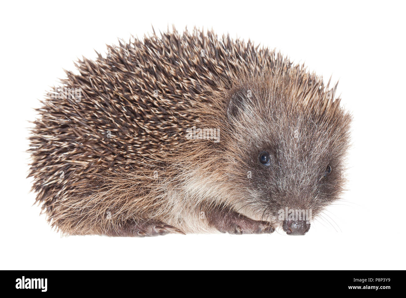 Hedgehog isolated against a white background - Stock Image