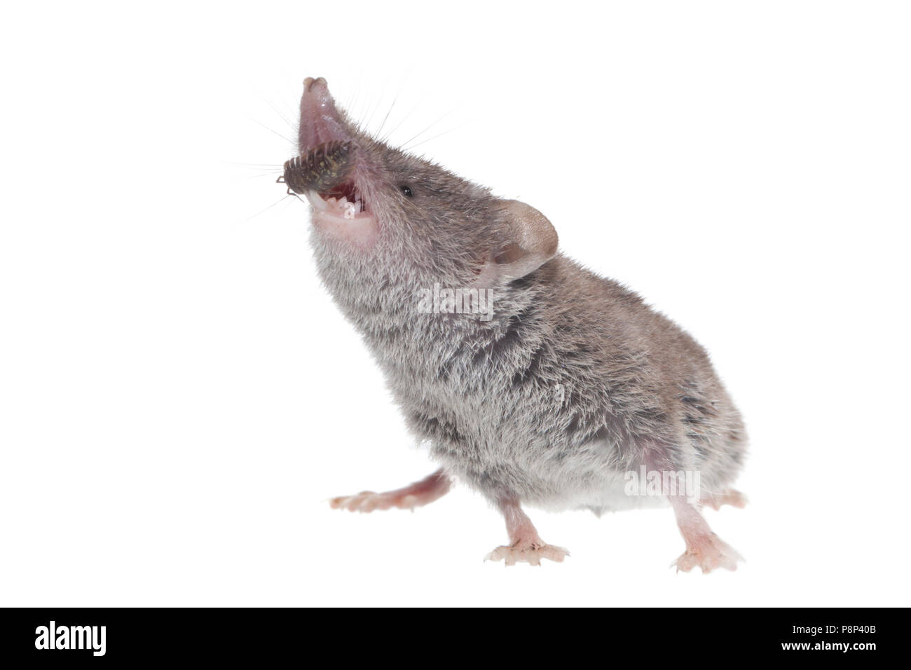 greater white-toothed shrew isolated against a white background - Stock Image