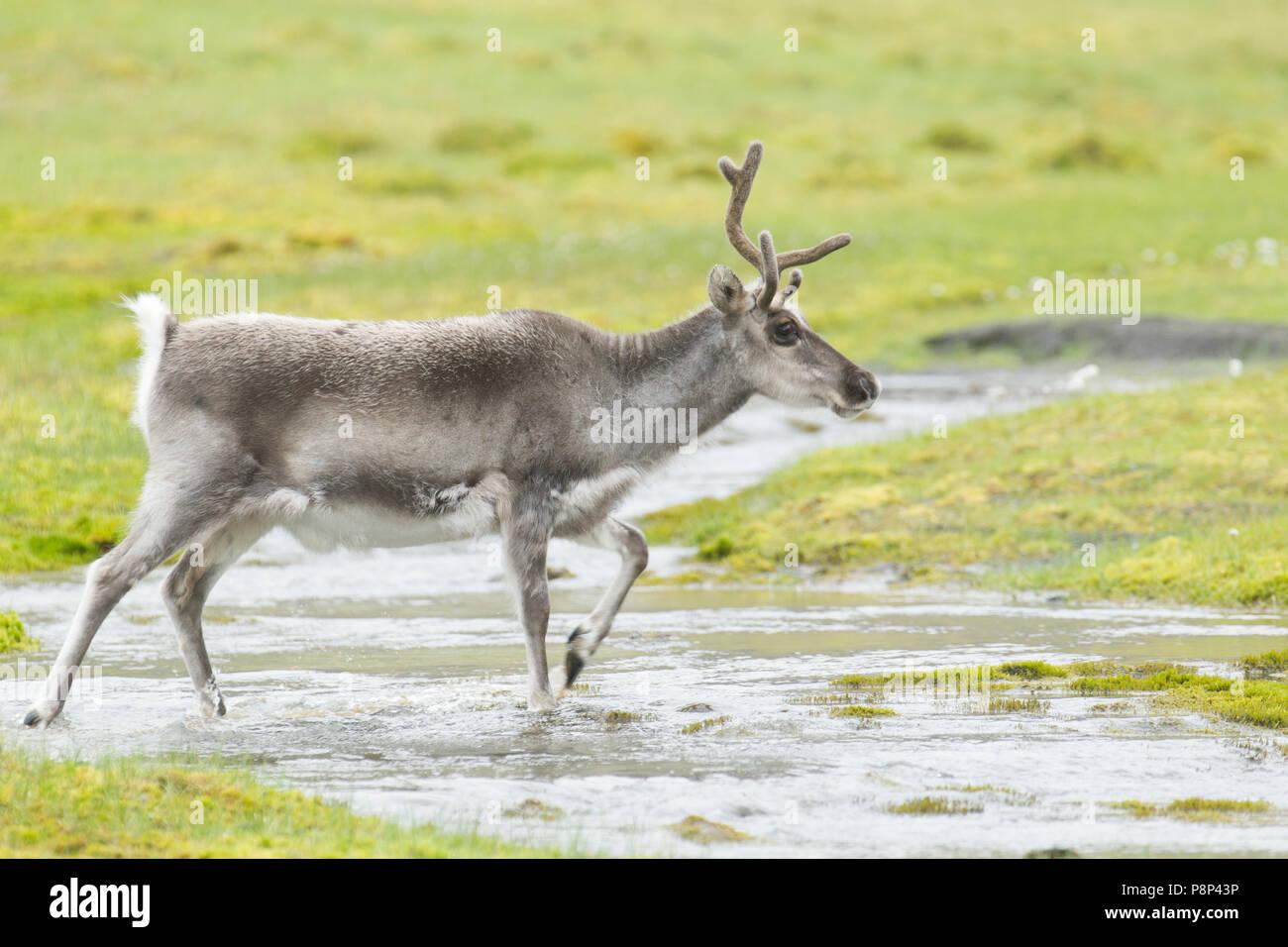 A Spitsbergen Reindeer crossing a tundra stream. - Stock Image