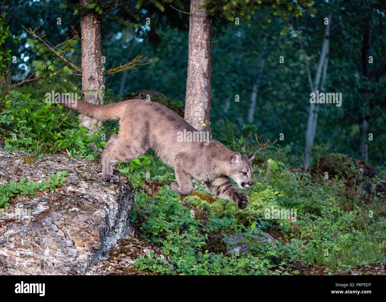 Leaping Mountain Lion - Stock Image