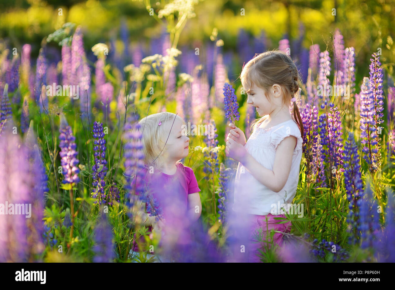 Two cute little sisters in blooming lupine field on summertime Stock Photo