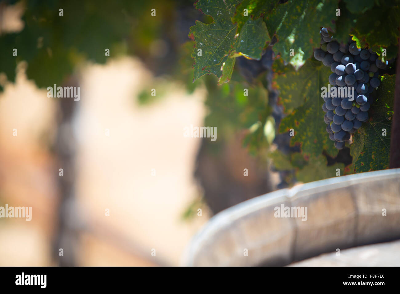 Grapes on a vine with Plenty of room for text - Stock Image