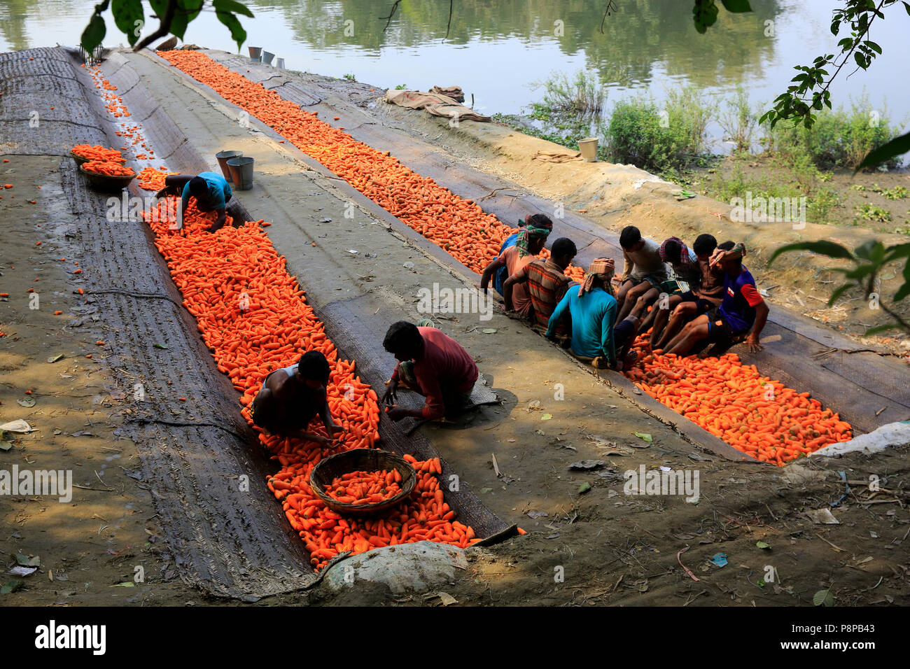 Workers wash the dirt off carrots picked from the fields before sending them to markets. Manikganj, Bangladesh - Stock Image
