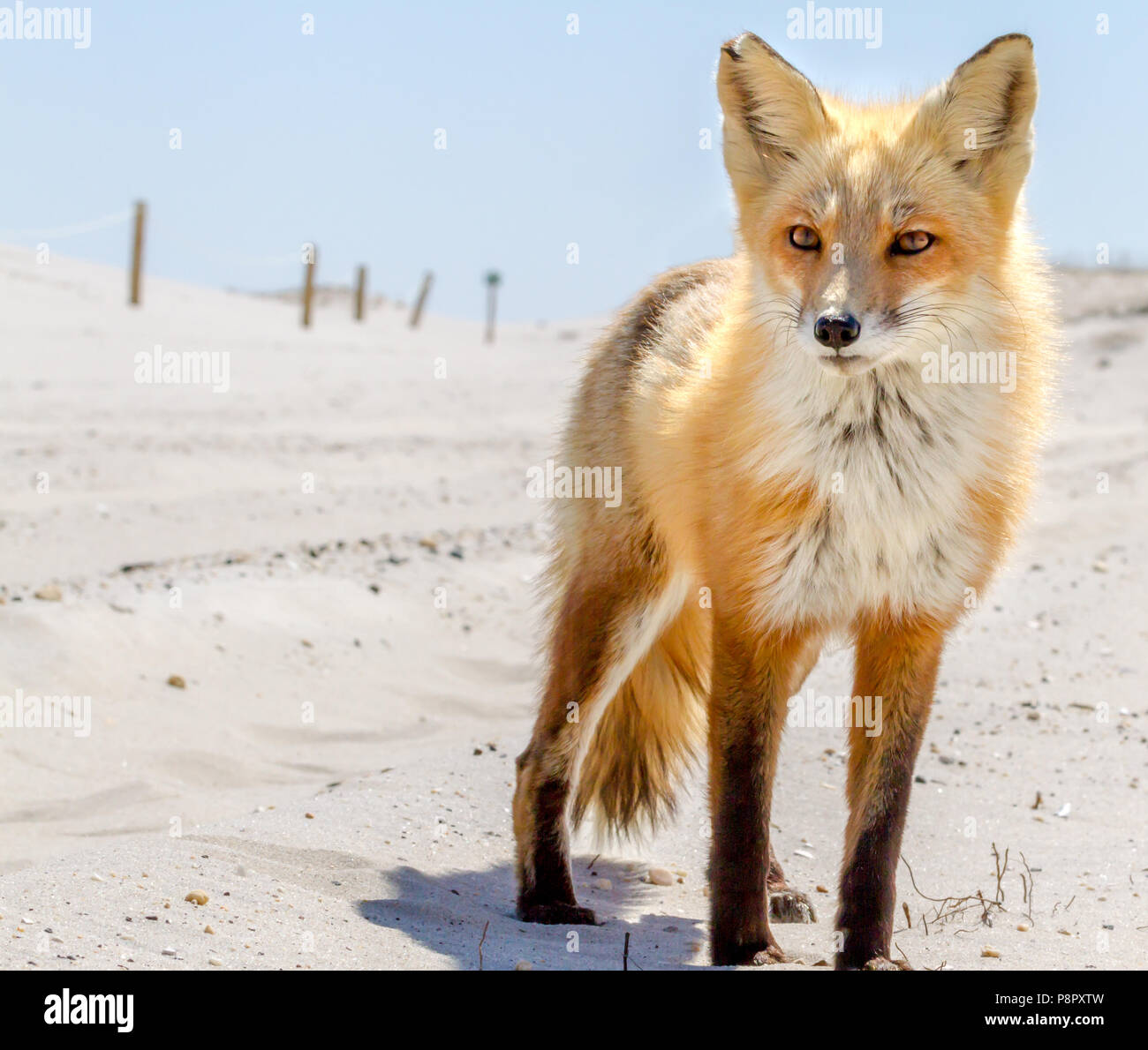 A beautiful red fox on the beach at Island Beach State Park - Stock Image