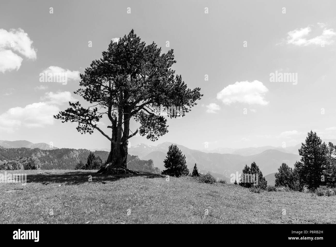 Landscape with pine on the Coll de la botella in the area Pal Arisal in Andorra - Stock Image