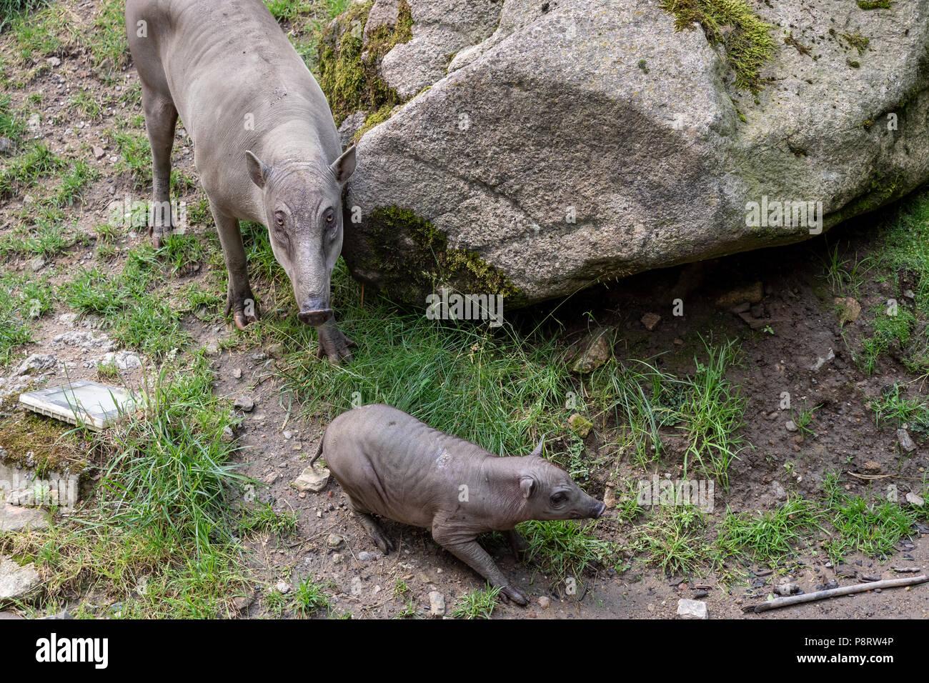 Babirusa Celebes (Babyrousa babyrussa) endangered animal species. Female Buru bairusa and young piglet - Stock Image
