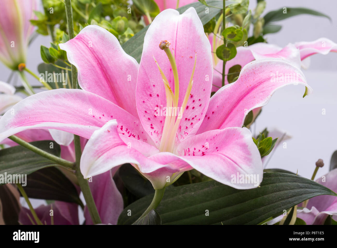 Pink magic lily stock photos pink magic lily stock images alamy close up of pink lily flower stock image izmirmasajfo