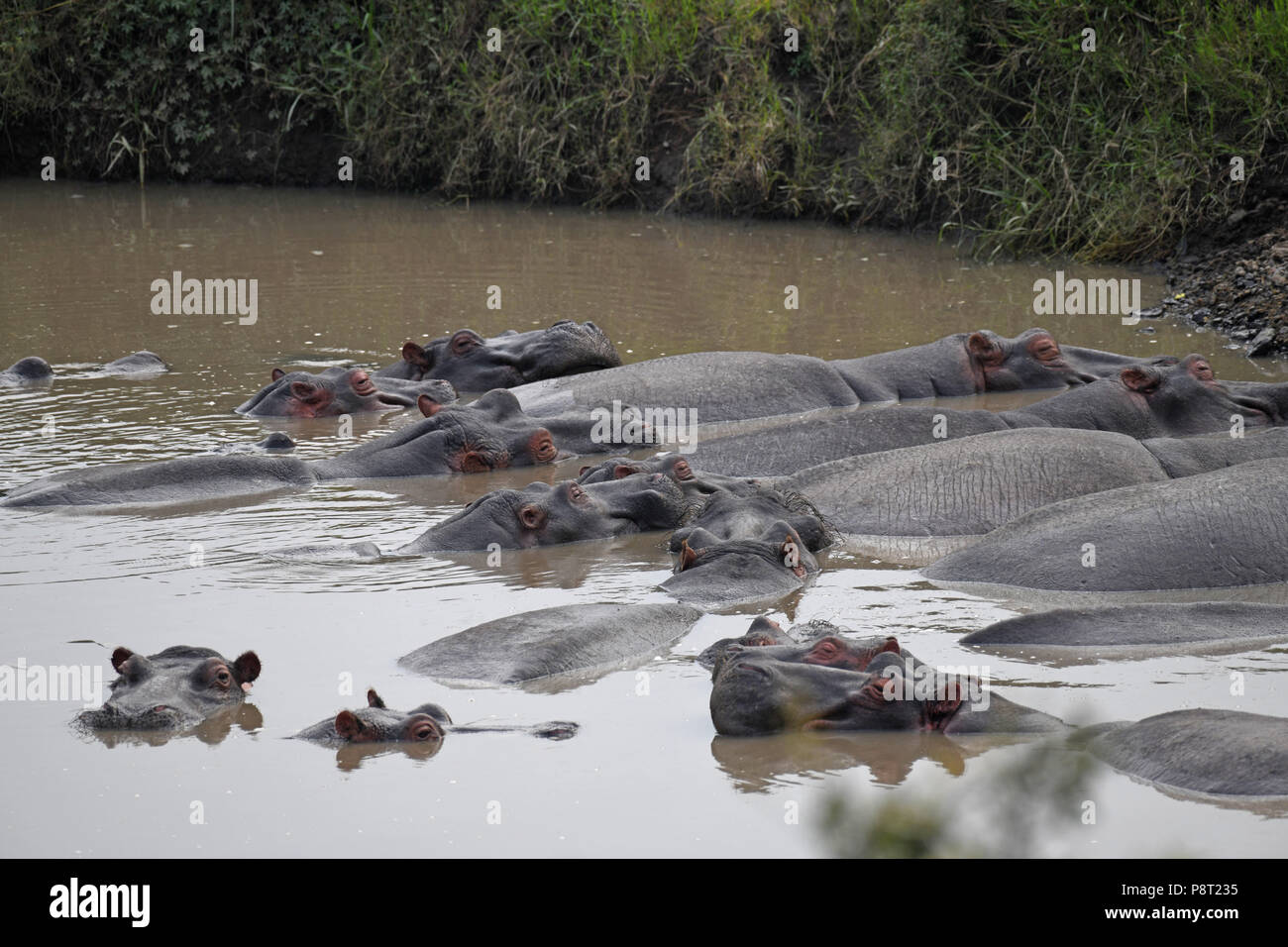 The Common Hippopotamus (Hippopotamus amphibius). Olare Motorogi Conservancy, Maasai Mara, Kenya, East Africa Stock Photo