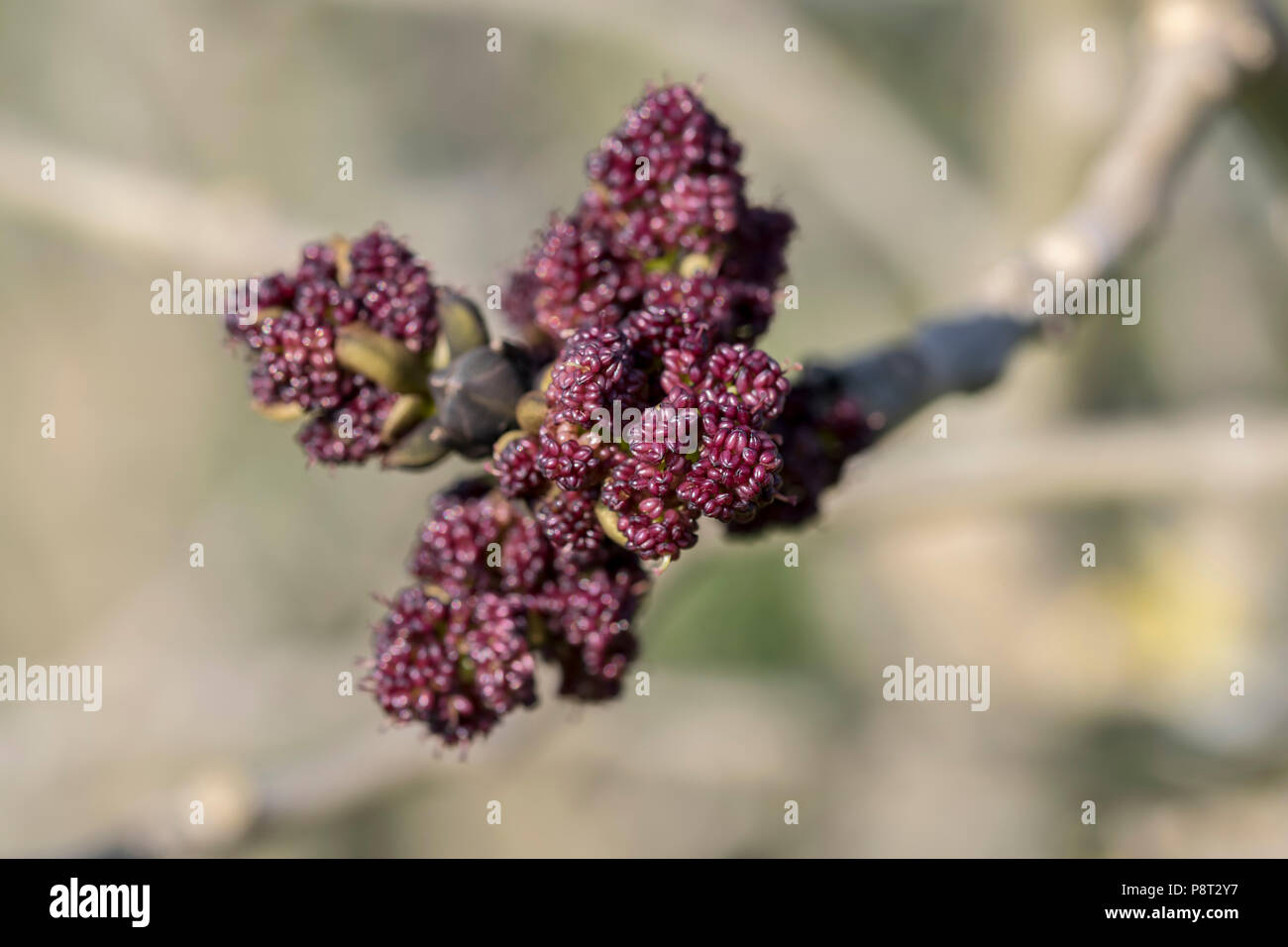 Common ash tree fraxinus excelsior early spring flower buds stock common ash tree fraxinus excelsior early spring flower buds mightylinksfo
