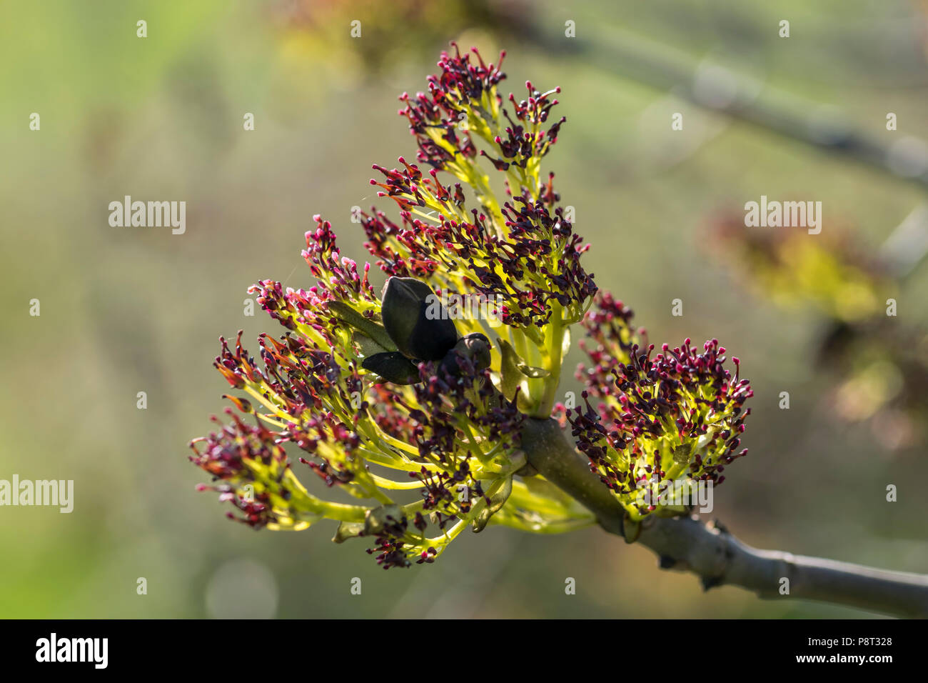Common Ash Tree Fraxinus Excelsior Early Spring Flower Buds Stock