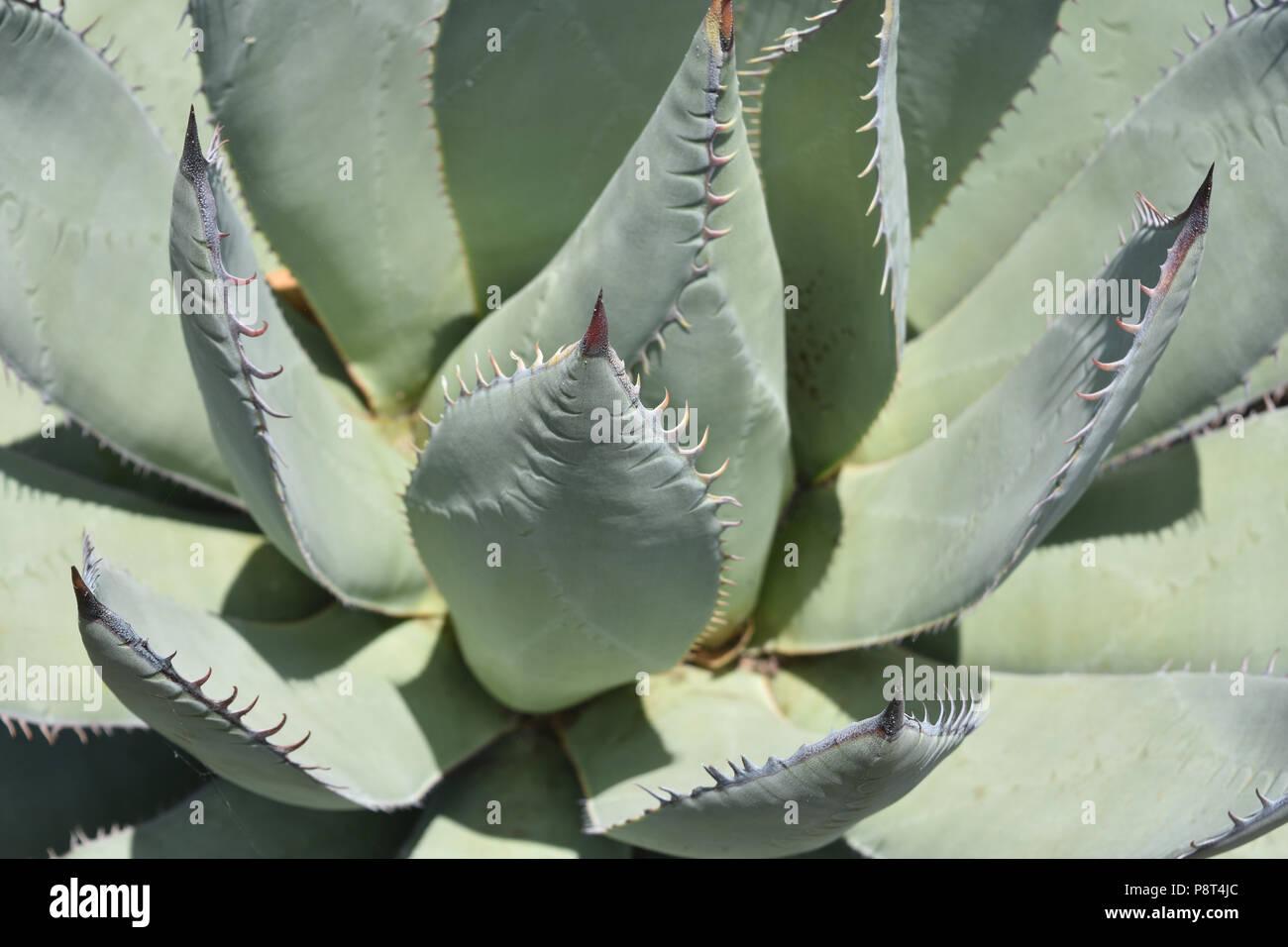 Up Close Look At A Very Healthy Aloe Vera Plant Stock Photo Alamy