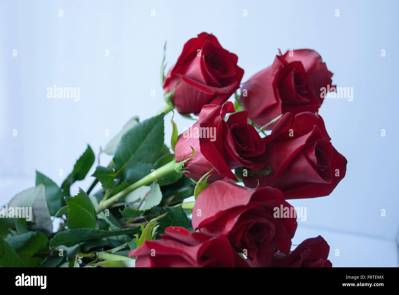 Dark Red Roses On White Close Up Bouquet Of Rosesmbol Of Love