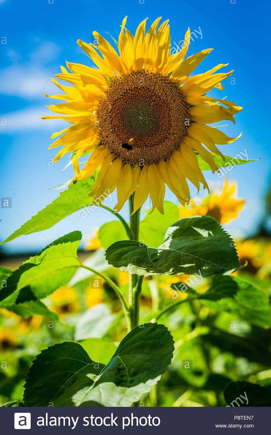 Die Blüte einer Sonnenblume (Helianthus annuus), auch Gewöhnliche Sonnenblume genannt, in einem Feld bei Saarmund in Brandenburg. - Stock Image