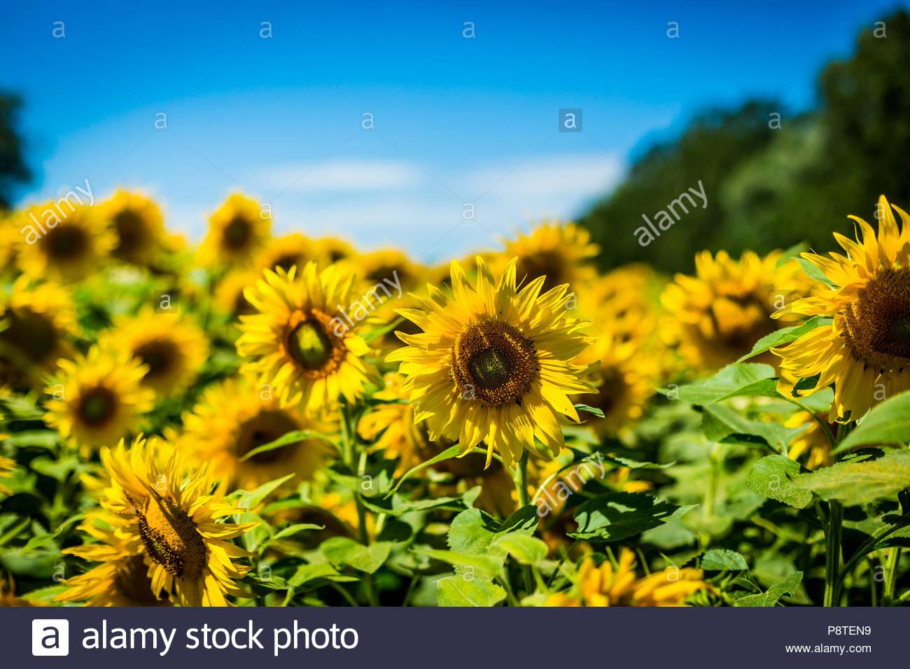Blühende Sonnenblumen (Helianthus annuus), auch Gewöhnliche Sonnenblume genannt, in einem Feld bei Saarmund in Brandenburg. - Stock Image