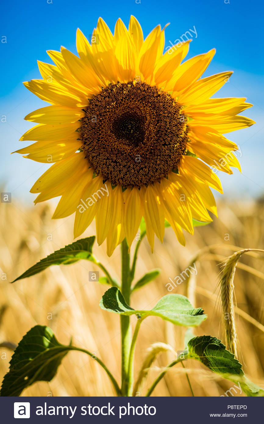 Die Blüte einer Sonnenblume (Helianthus annuus), auch Gewöhnliche Sonnenblume genannt, vor einem Gerstenfeld bei Saarmund in Brandenburg. - Stock Image