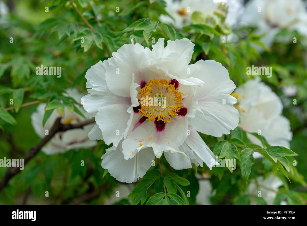 Blooming tree peony big white peonies bloom in the spring season blooming tree peony big white peonies bloom in the spring season known as paeonia rockii paeoniaceae from china mightylinksfo