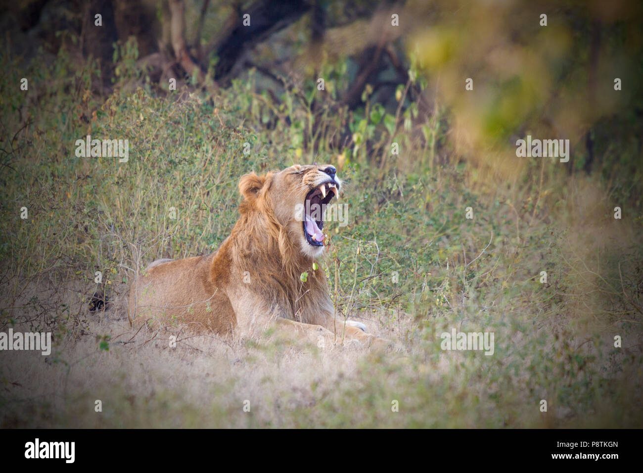 Asiatic lion or Panthera leo leo at Gir National park Gujarat India - Stock Image