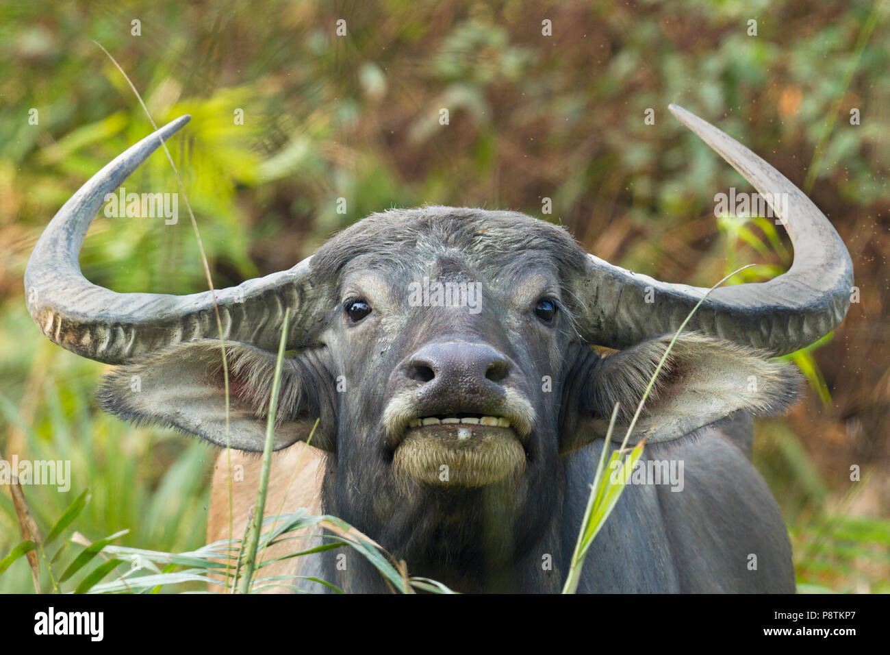 Water buffalo or Bubalus bubalis or domestic Asian water buffalo at Kaziranga national park Assam India - Stock Image