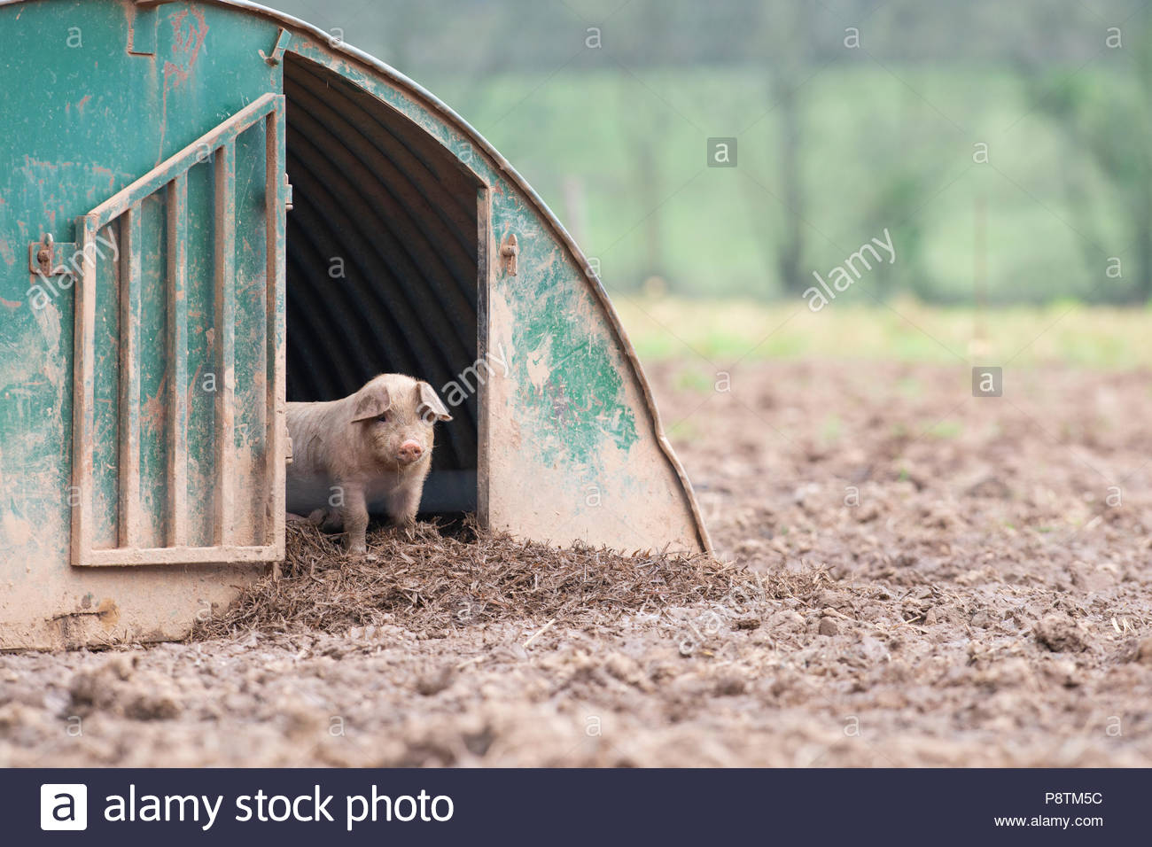Piglet Standing in a Shelter in a Field in Devon - Stock Image