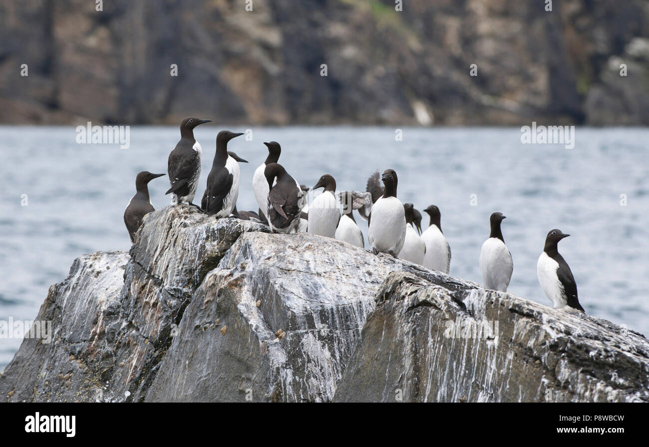 Common guillemots or common murres (Uria allge) on a rocky outcrop, Noss, Shetland Stock Photo