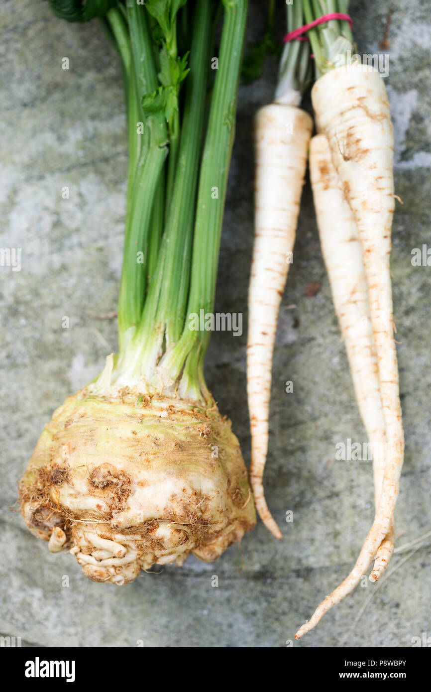 Root of celery with parsley - Stock Image