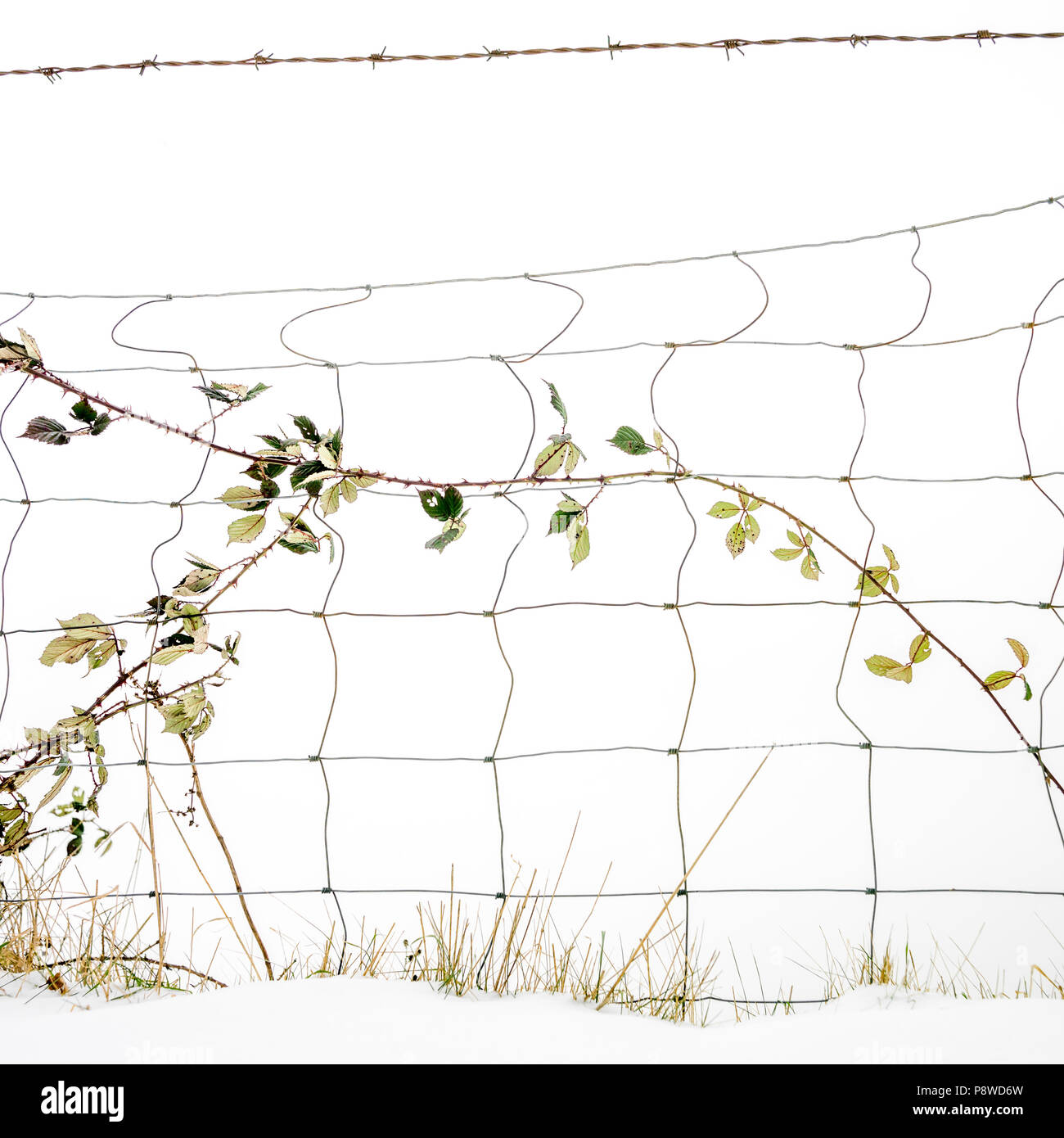 Brambles entangled in a wire fence amongst snow, France - Stock Image