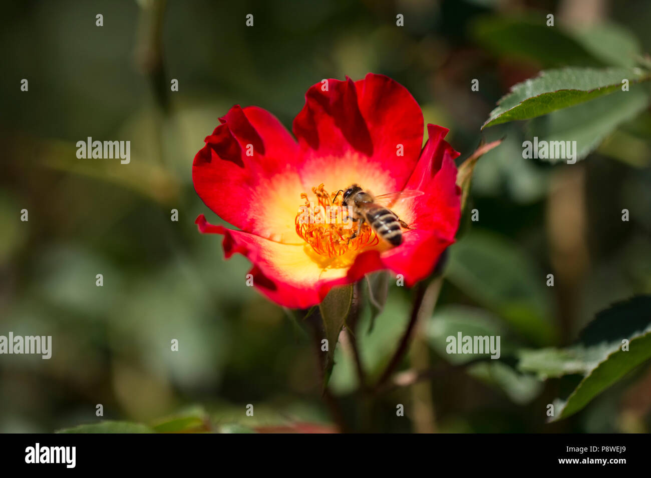 honey bee collects flower nectar from a red flower - Stock Image