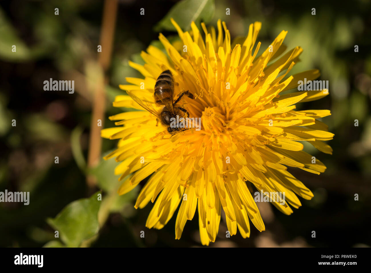 Close up of a honey bee collecting pollen from beautiful yellow dandelions Stock Photo