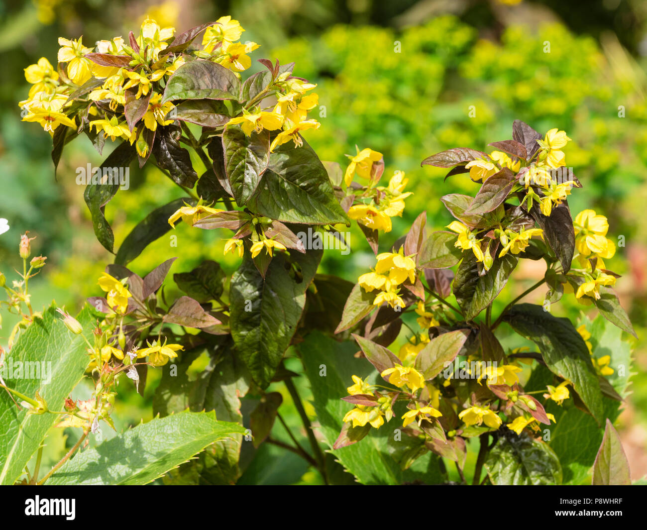 Bronze Foliage And Yellow Leaves Of The Hardy Summer Flowering