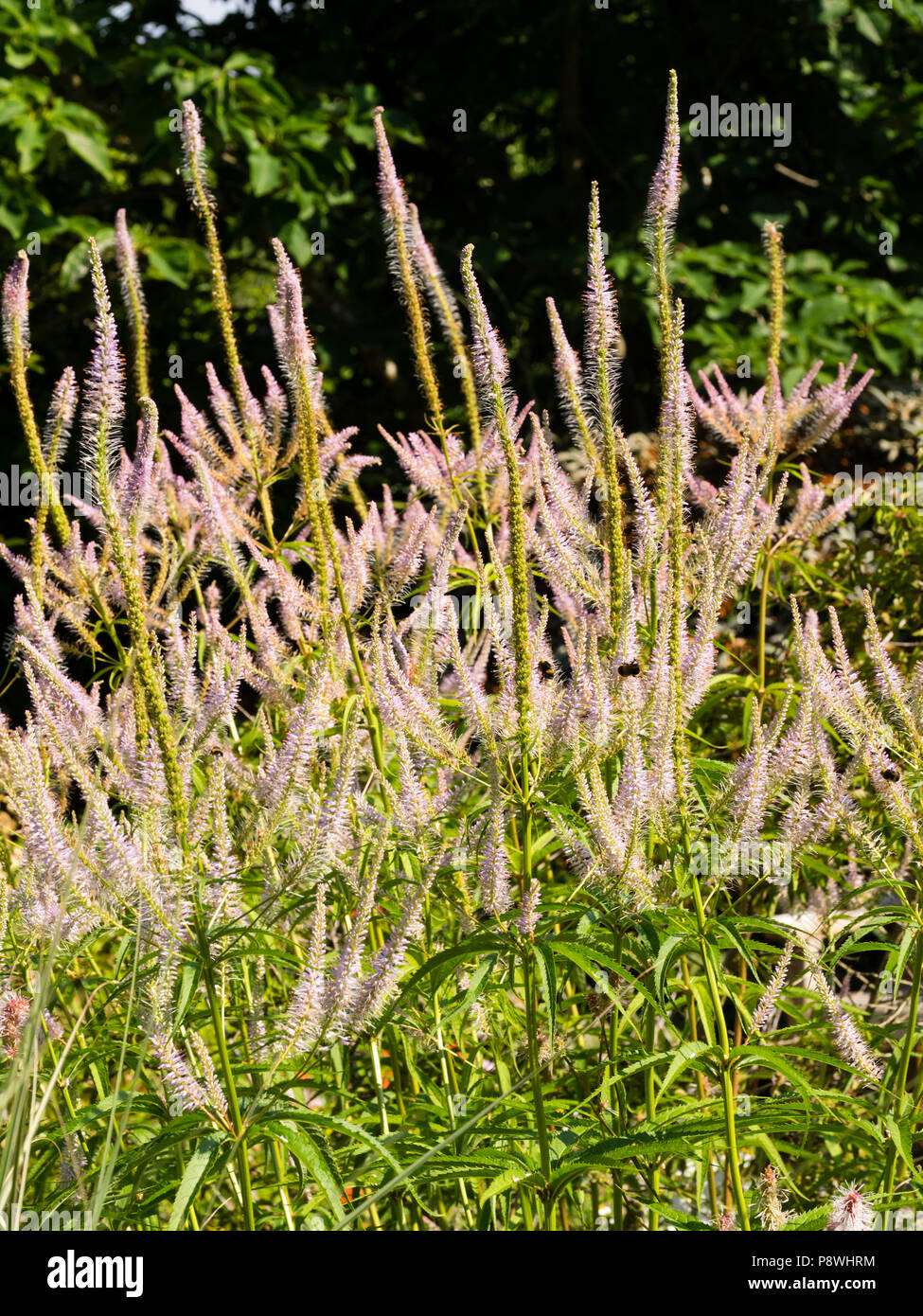 Pale Lavender Flowers In The Branching Spikes Of The Tall Summer