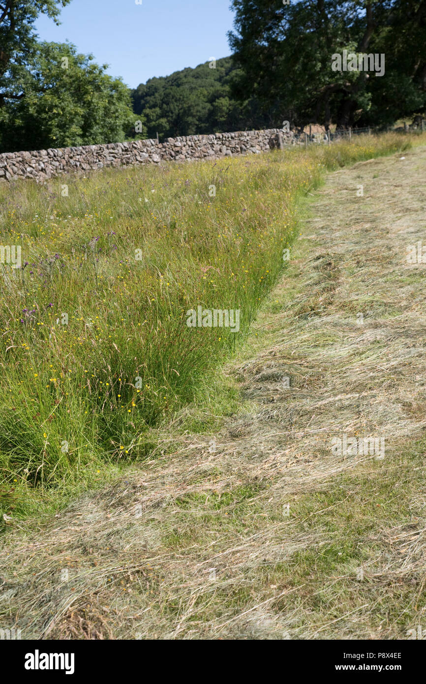 Buffer strip of uncut meadow with wild flowers on edge of field Scotland UK - Stock Image