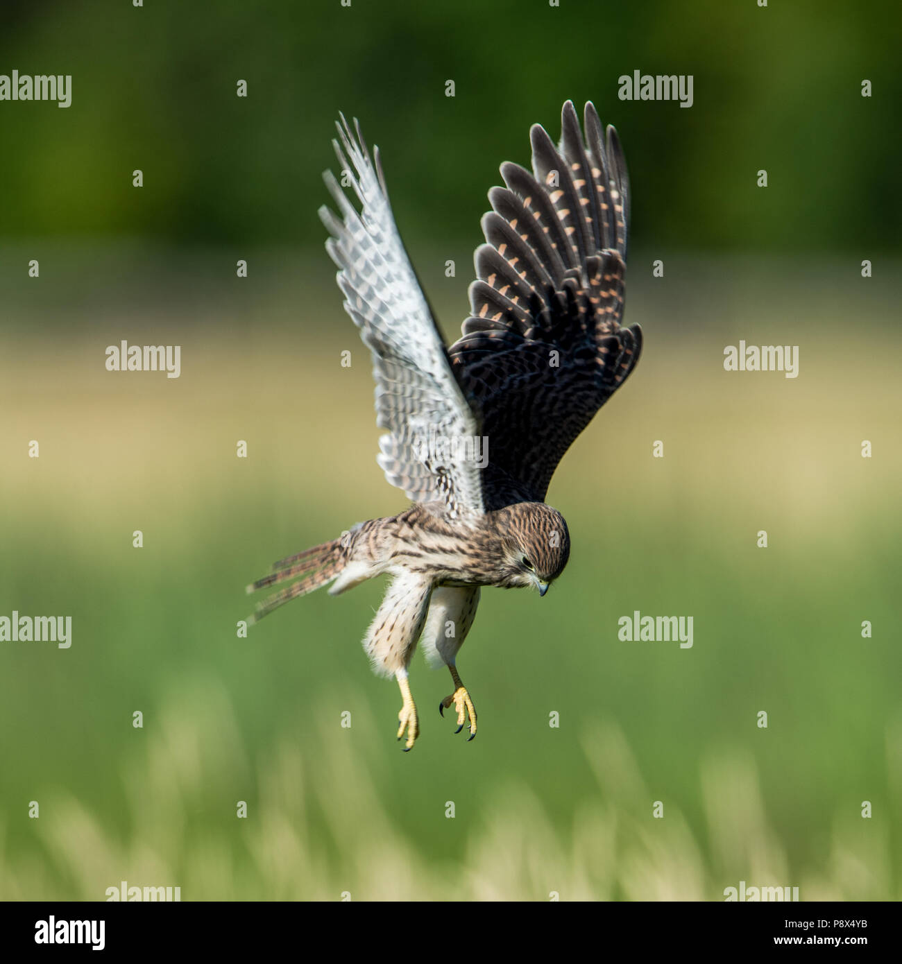 The young hovering Old World Kestrel (Falco tinnunculus) searching for prey on the meadow - Stock Image