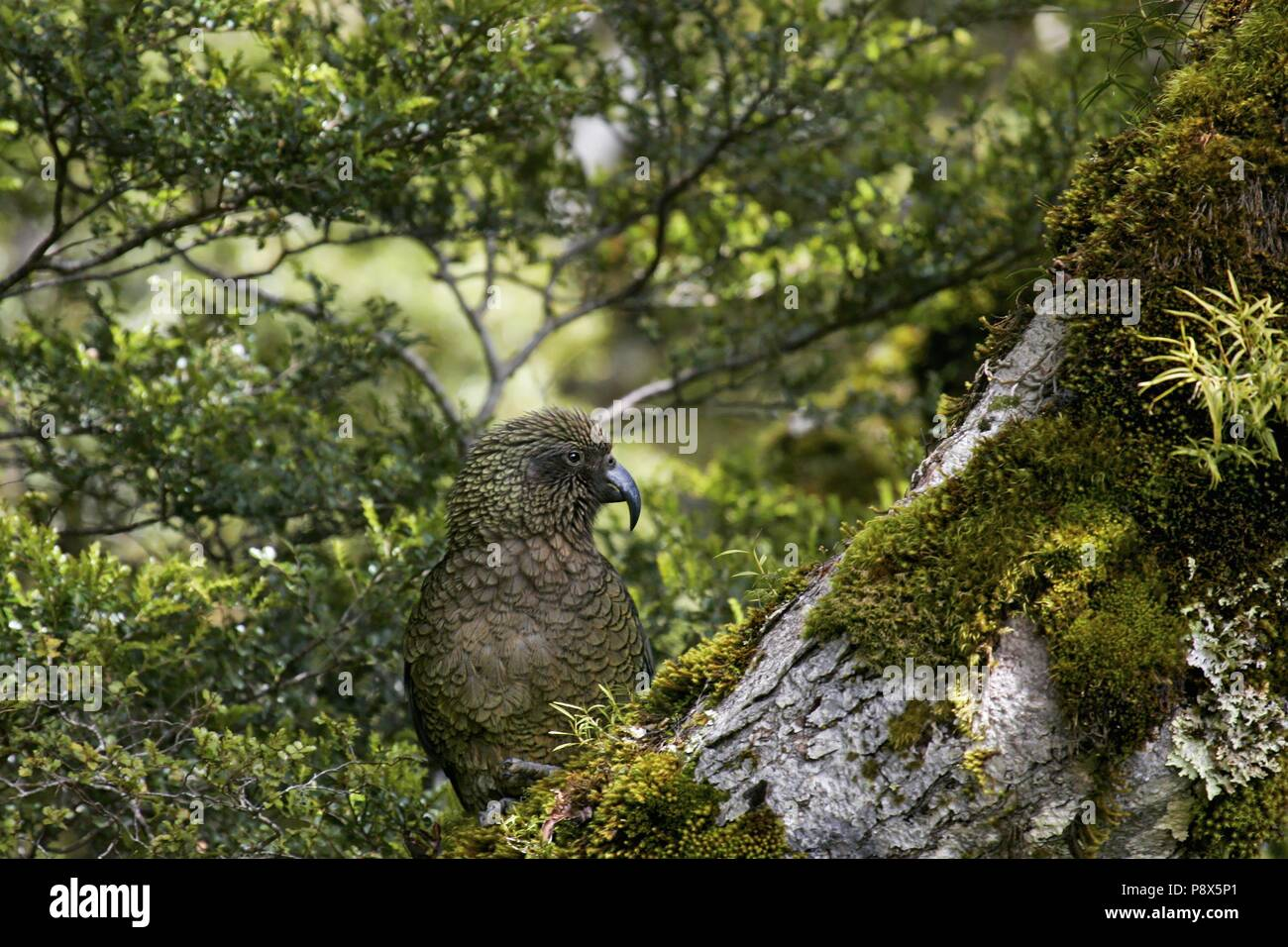 Kea (Nestor notabilis) sitting on mossy tree trunk, Arthur's Pass National Park, New Zealand   usage worldwide Stock Photo