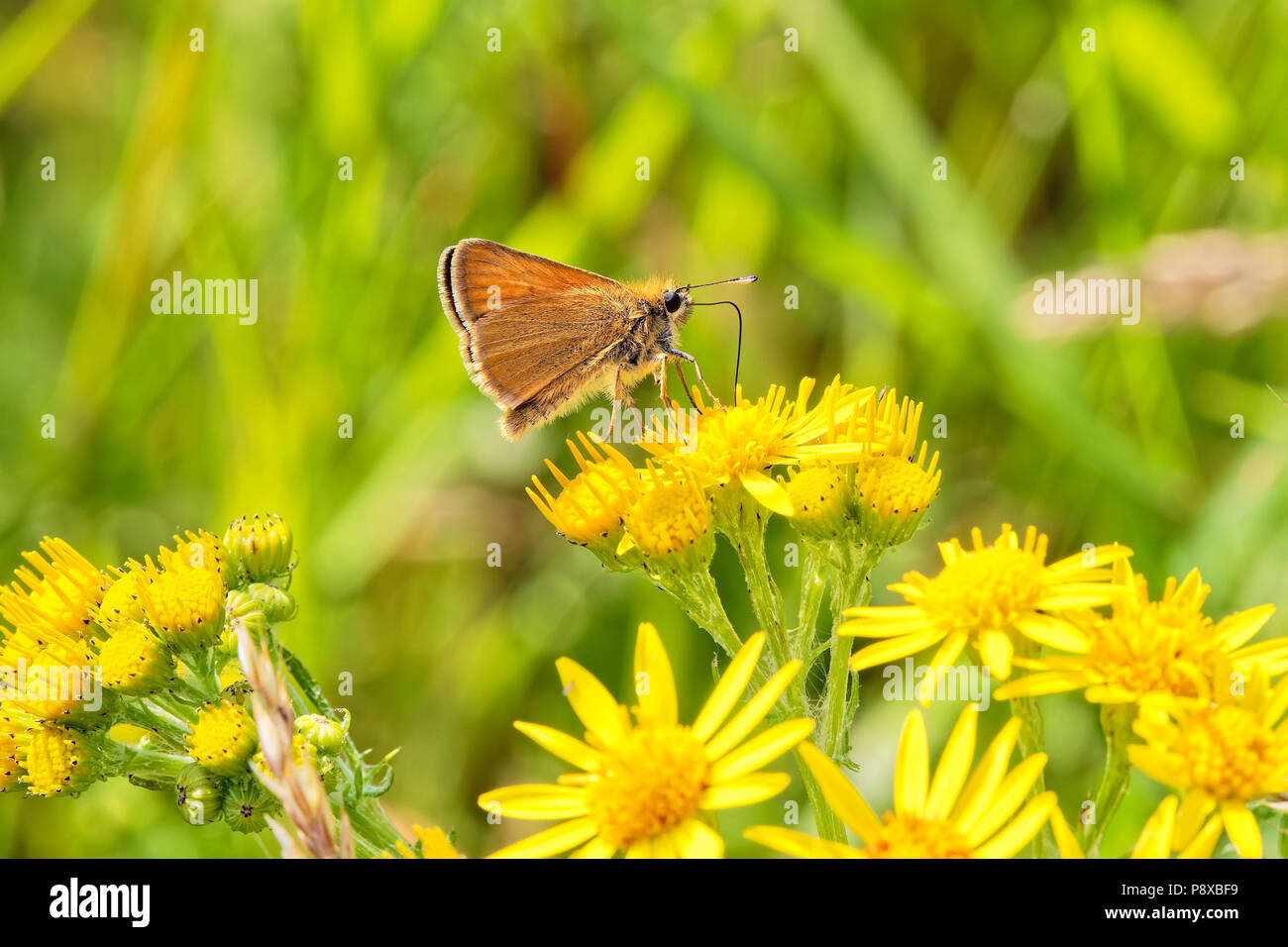 Close up of a Small Skipper butterfly feeding on nectar from a Groundsell flower - Stock Image
