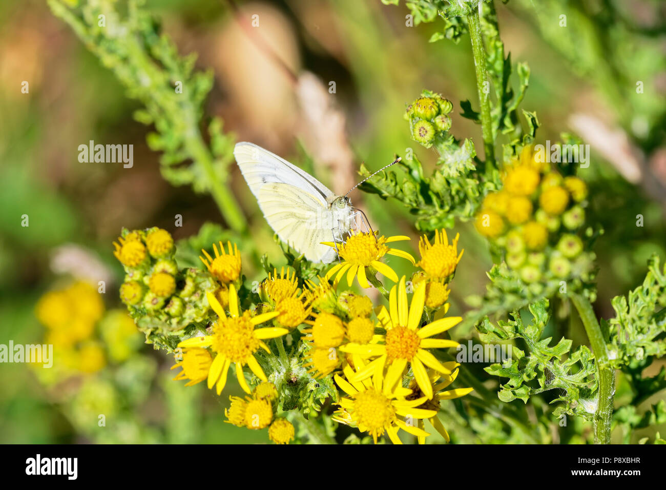 Close up of a Cabbage White butterfly feeding on nectar from a Groundsell flower - Stock Image