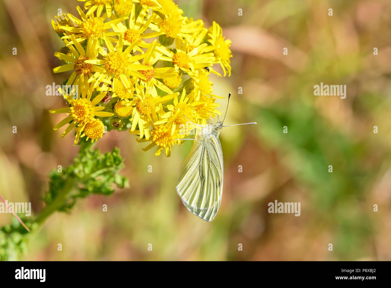 Close up of a Cabbage White butterfly feeding on nectar from a bright yellow Groundsell flower - Stock Image