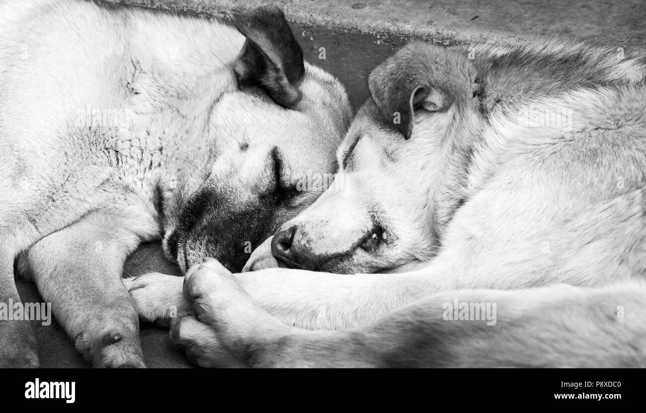 Two cute dogs sleeping next to each other in black and white - Stock Image