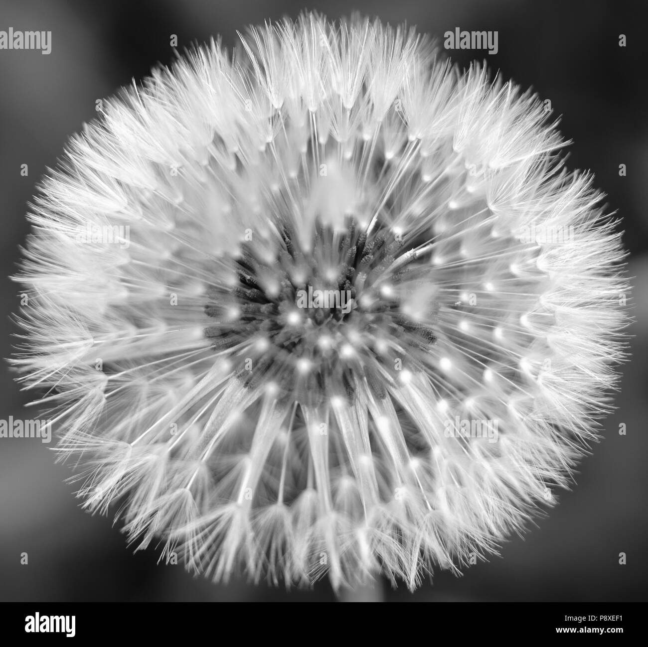 High contrast black white photo of a dandelion seed head stock