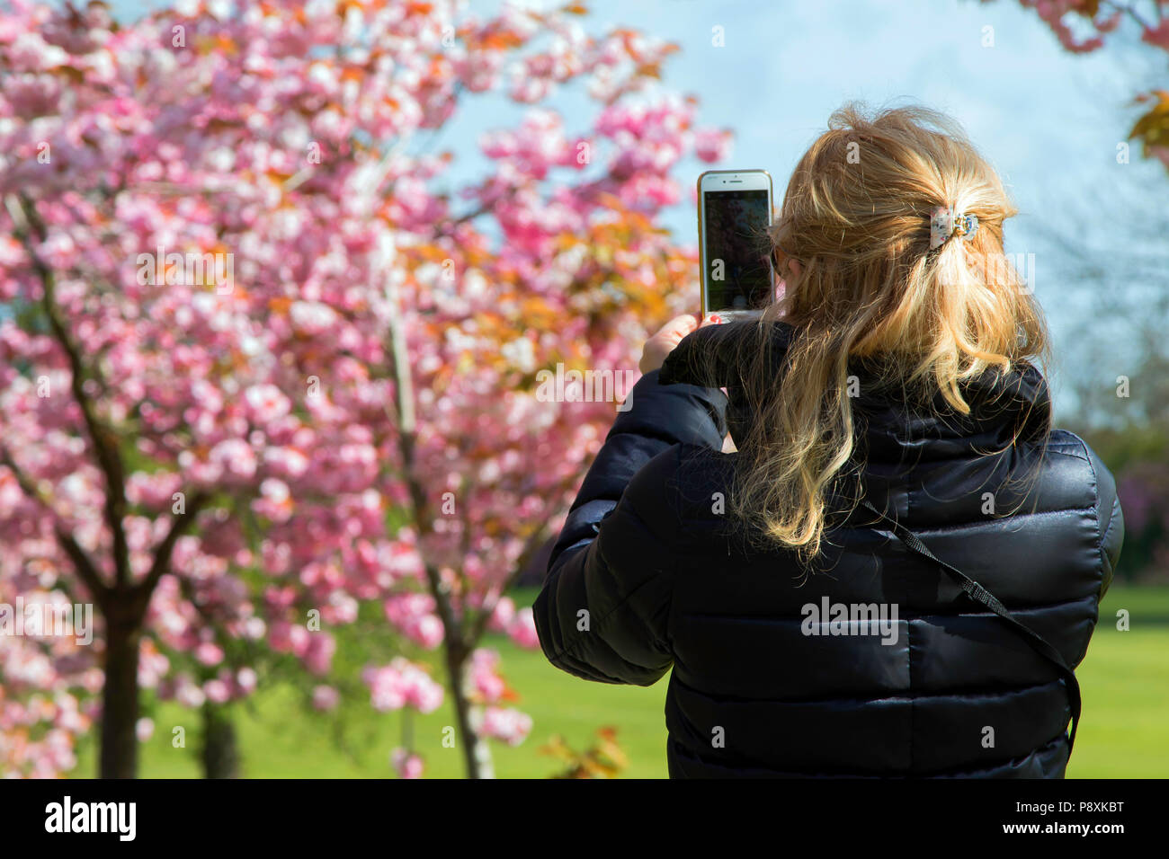 A woman taking a photo of Pink Cherry Blossom with a mobile phone. - Stock Image