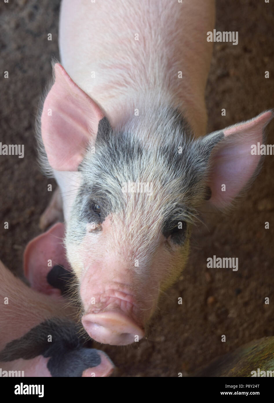 Really adorable pink face on a pig. - Stock Image