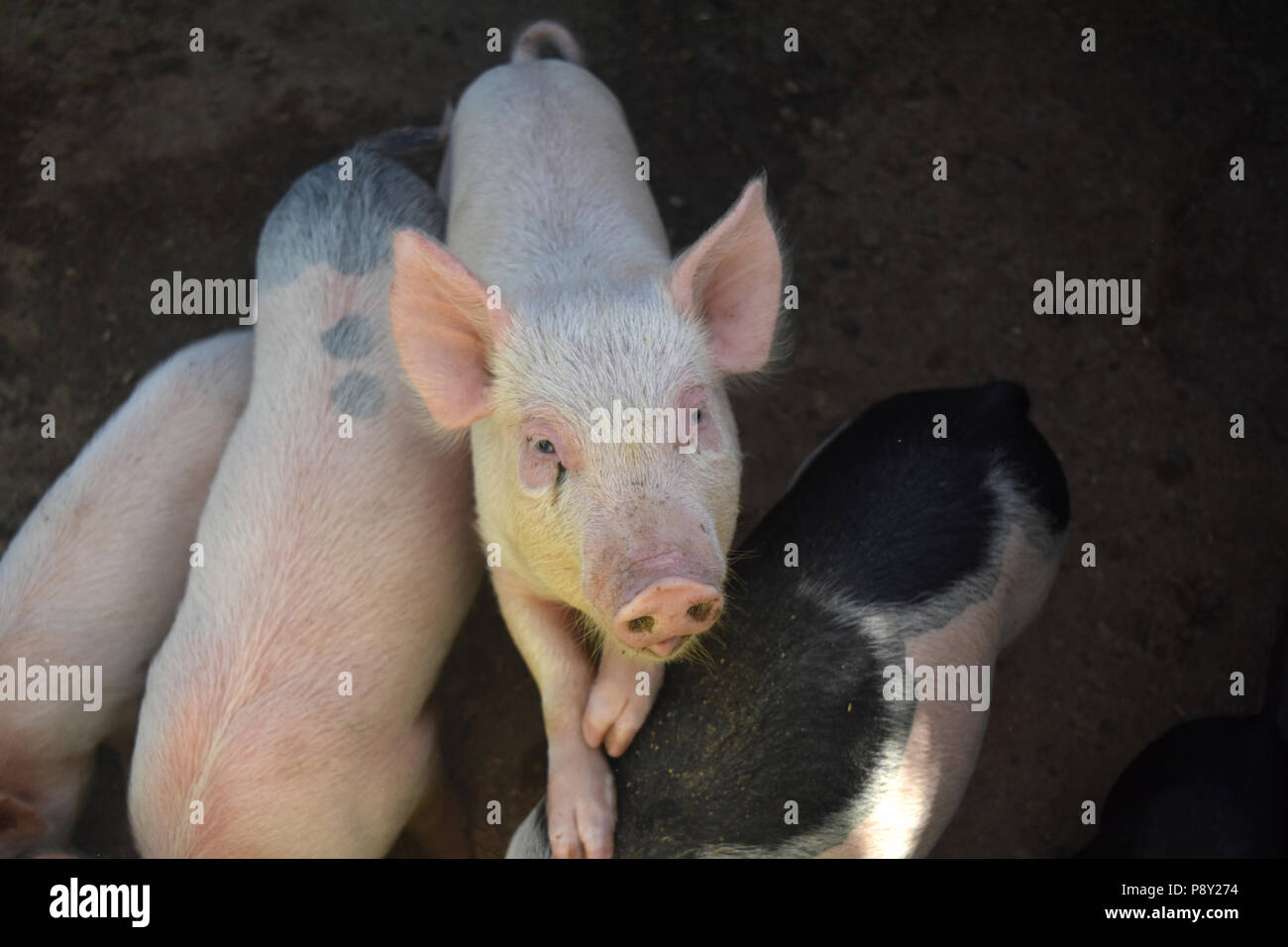 A cute piglet stepping on other pigs to get higher. - Stock Image
