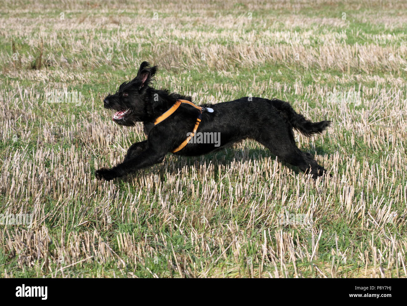 Neustadt (Dosse), Germany, Riesenschnauzer is running over a stubble field - Stock Image